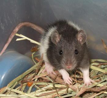 ratbaby