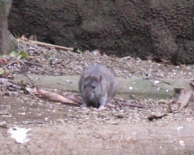 Rat03_2