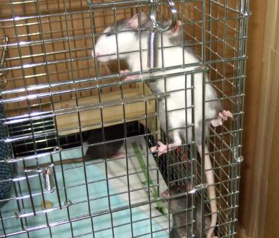 Rat3_003