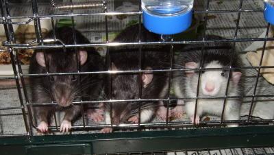 Rat3_012