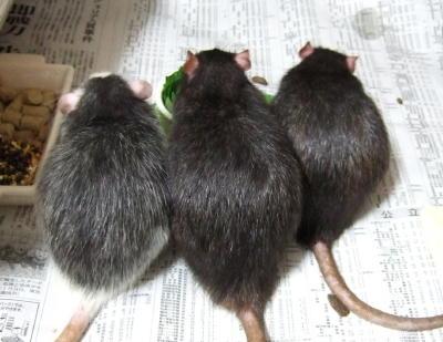 Rat3015