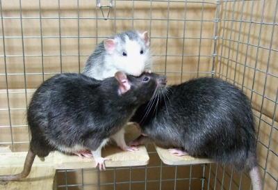Rat3_016