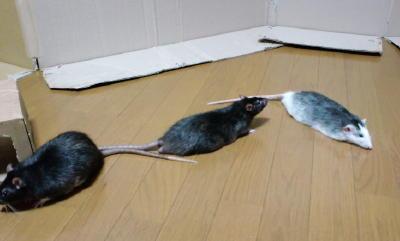 Rat3_020