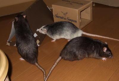 Rat3_024