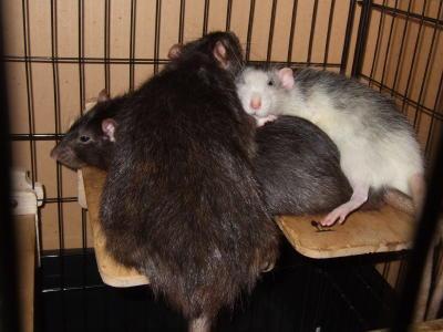 Rat3_027
