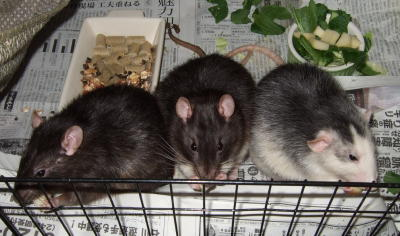 Rat3_029
