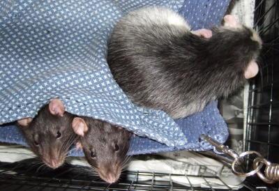 Rat3_031