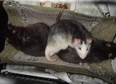 Rat3_032