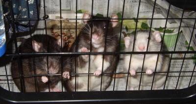 Rat3_035